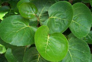daun-mangkok
