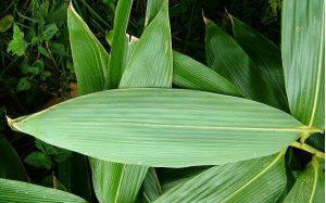 daun-bambu