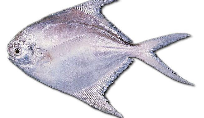 Jenis Ikan Bawal